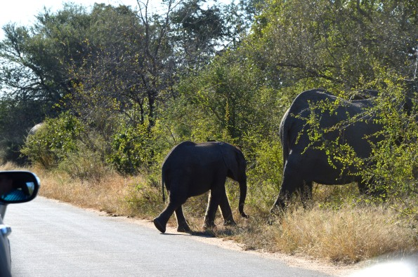 Baby elephant, part of a big herd crossing the road