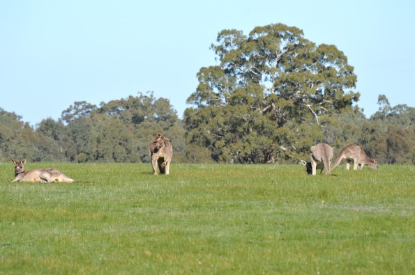 More 'roos
