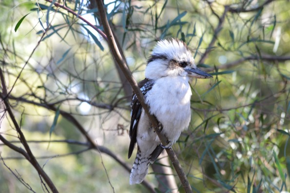 Beautiful Kookaburra