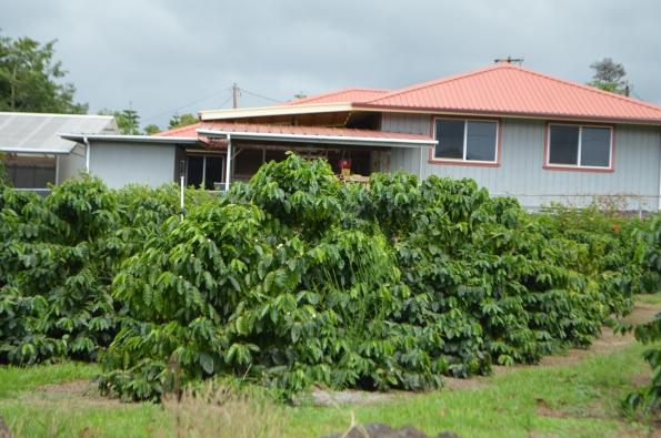 Coffee plantations are ubiquitous in Hawai'i Island
