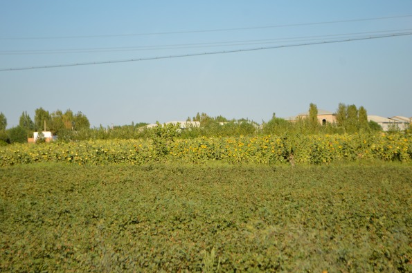 Cotton fields between Urgench and Khiva