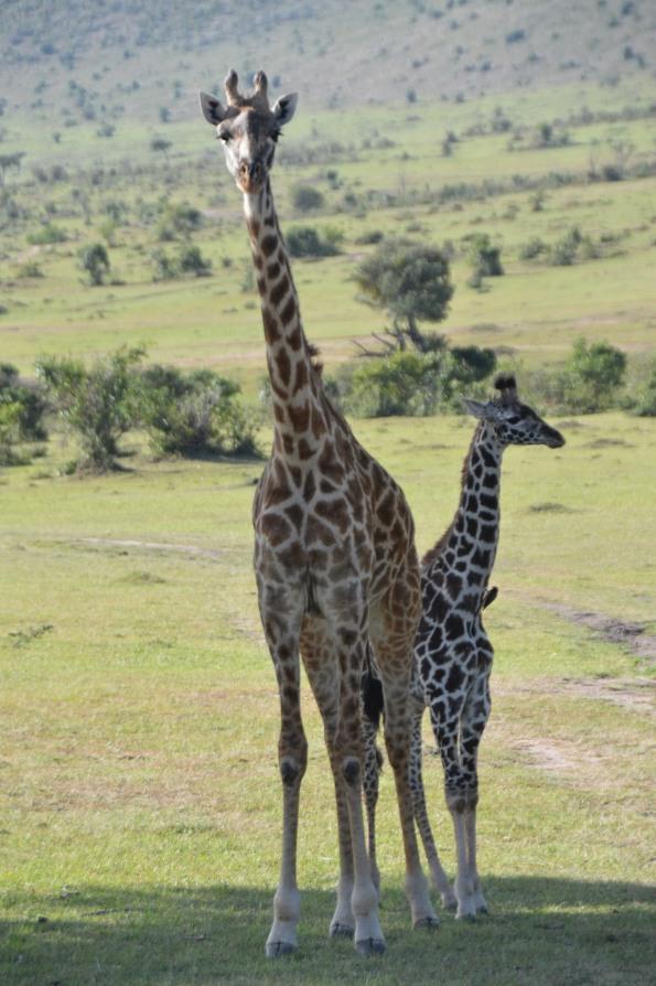 Giraffe family (2)
