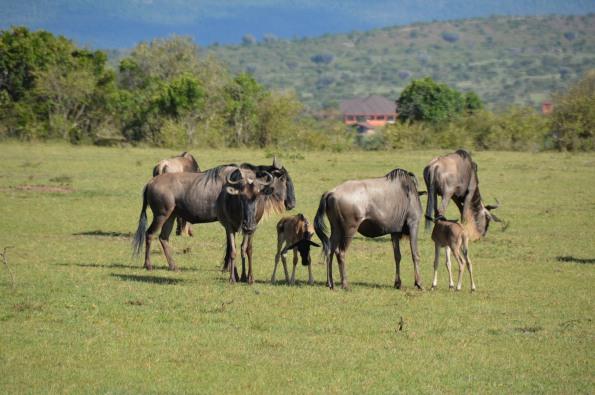 Gnu family
